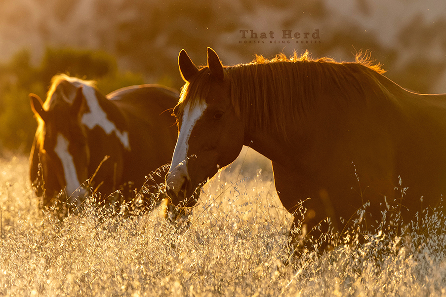 free range horse photography of mares backlit in late day oat field