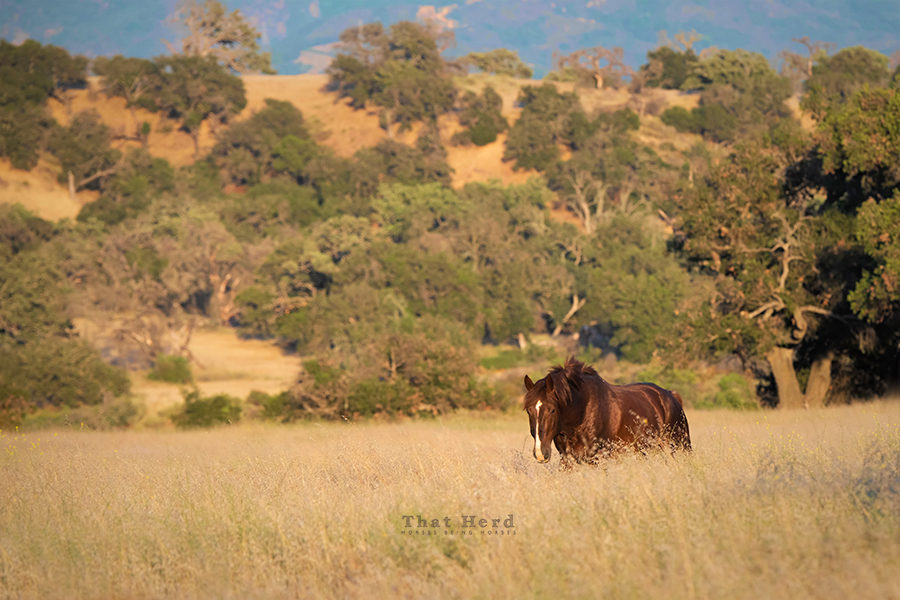 free range horse photography of a stallion striding through a golden field