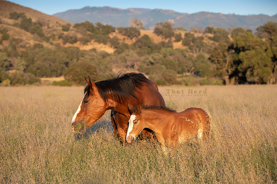 free range horse photography of a mare and foal glowing in the last light of a summer day