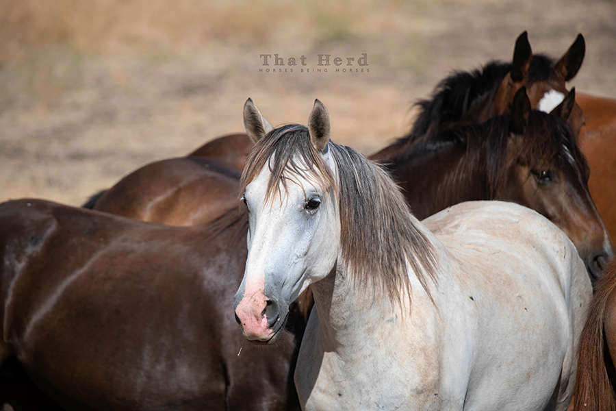 free range horse photography of a handsome grey horse