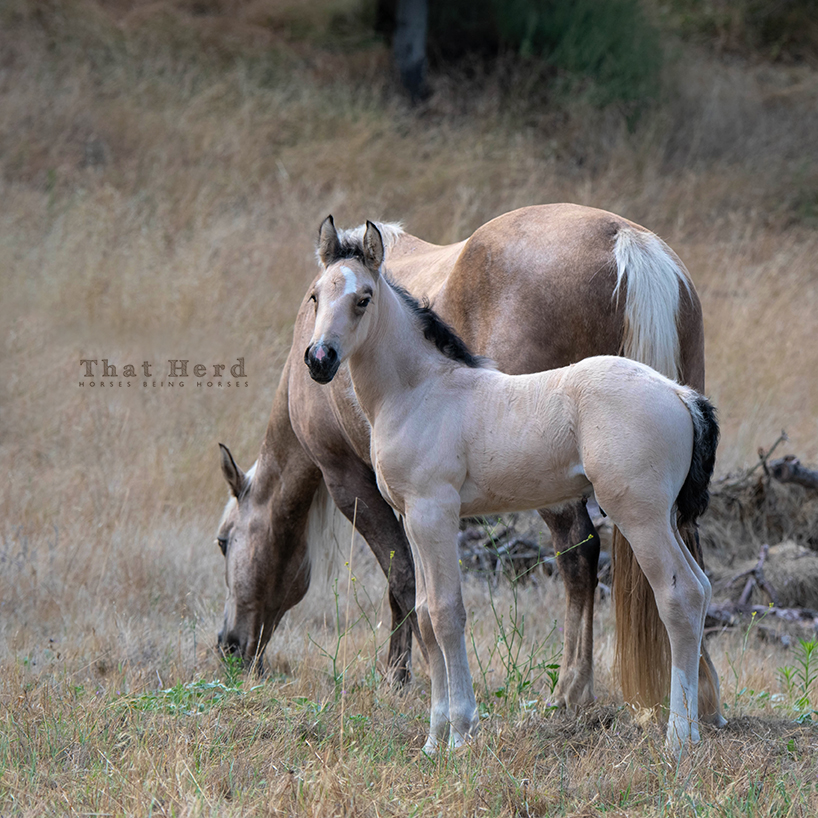 free range horse photography of a buckskin colt