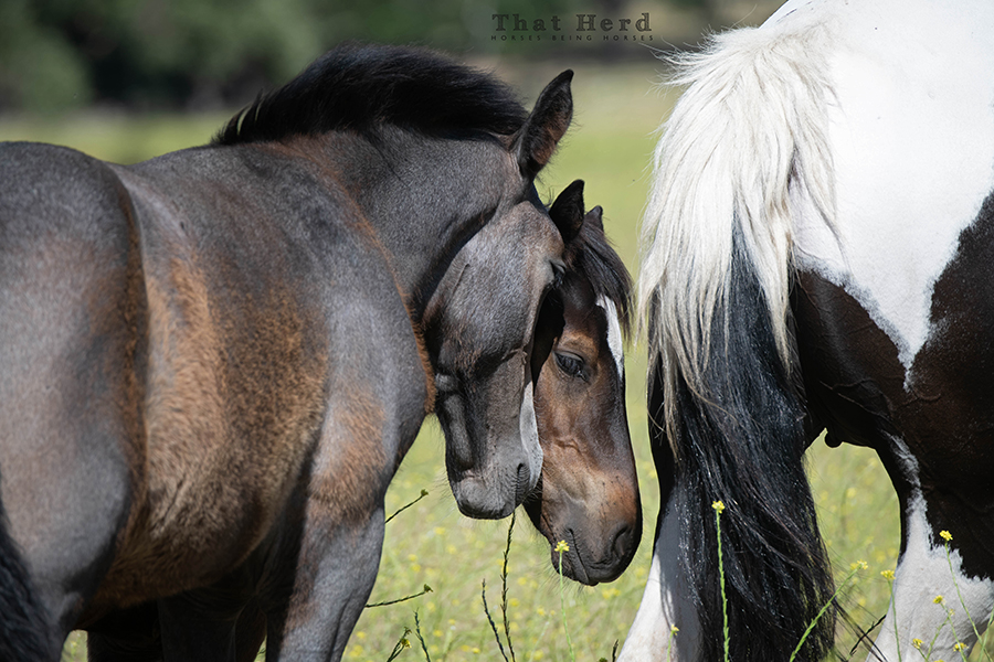 free range horse photography of two inseparable foals