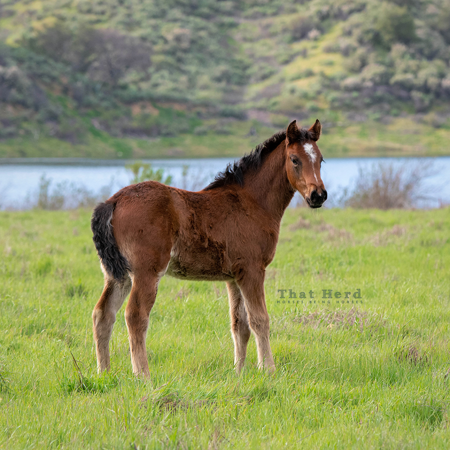 free range horse photography of a fuzzy filly in spring grass