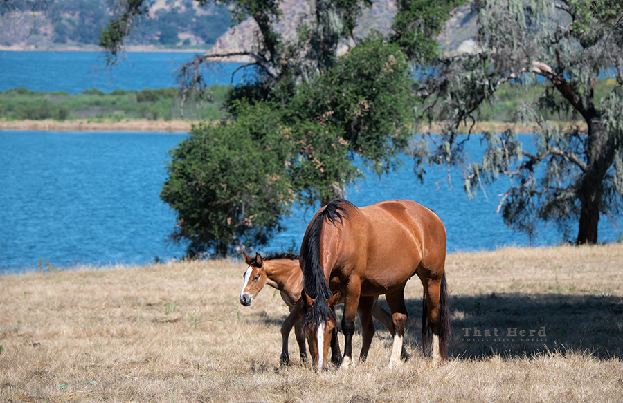 free range horse photography of a mare and foal grazing near a lake