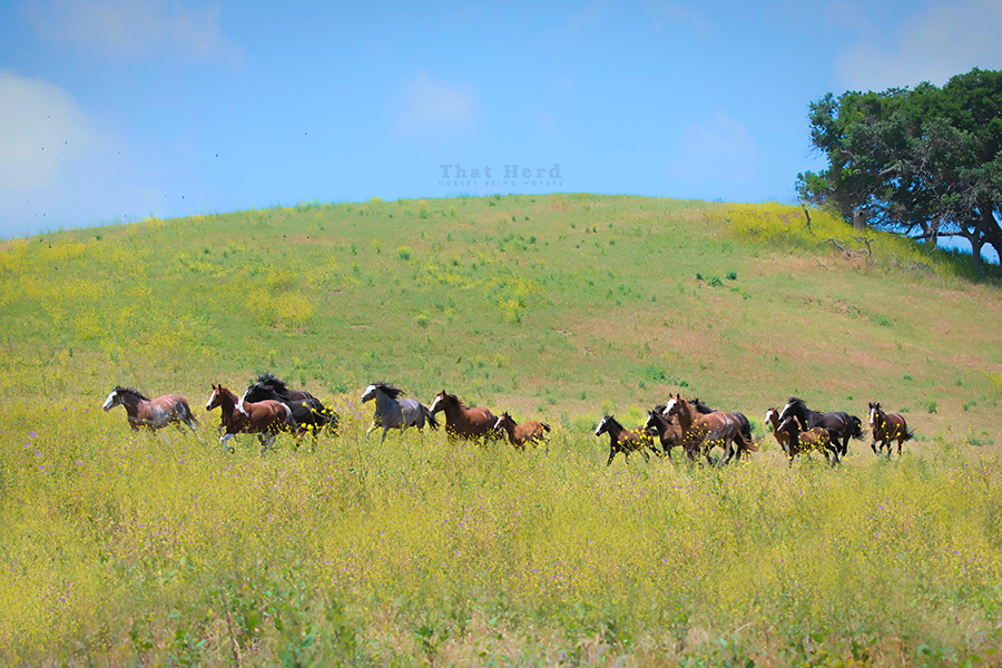free range horse photography of a group of mares running across a grassy hillside
