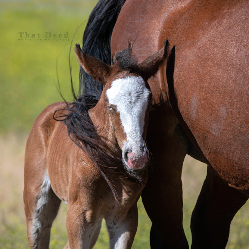 free range horse photography of a filly dozing under her mother's tail