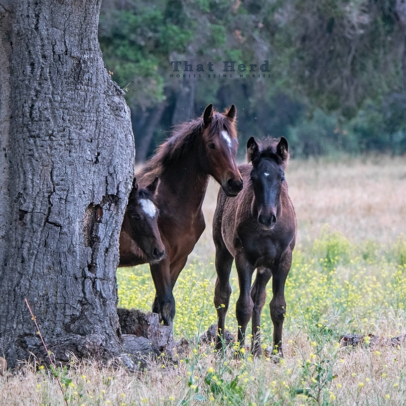 free range horse photography of three fillies looking innocent by a failing oak tree