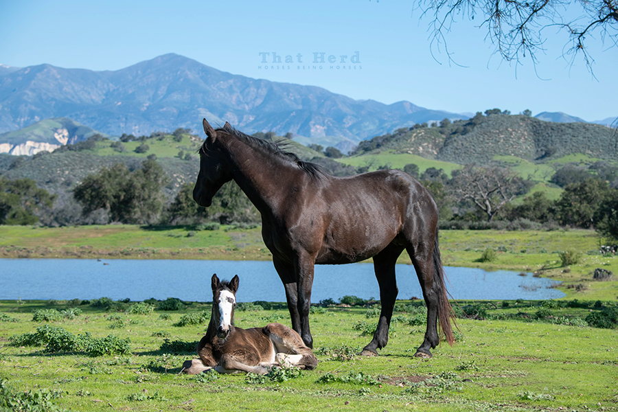 free range horse photography of a mare guarding her new foal in a scenic setting