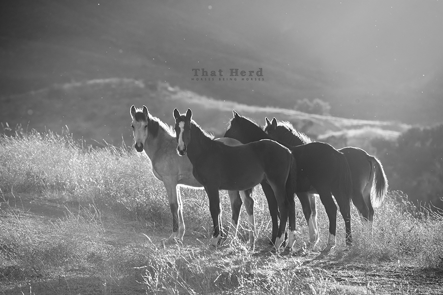 free range horse photography of newly weaned foals on a hilltop