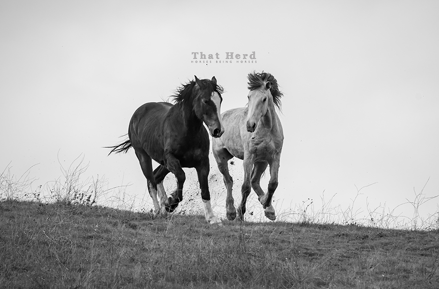 free range horse photography of two colts galloping over a hilltop