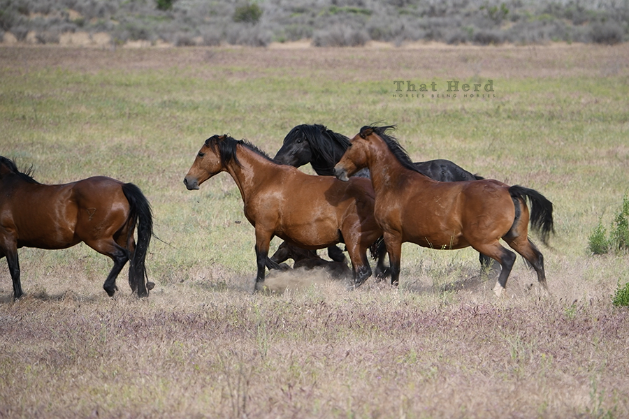 free range horse photography of three mares fighting to defend a newborn foal