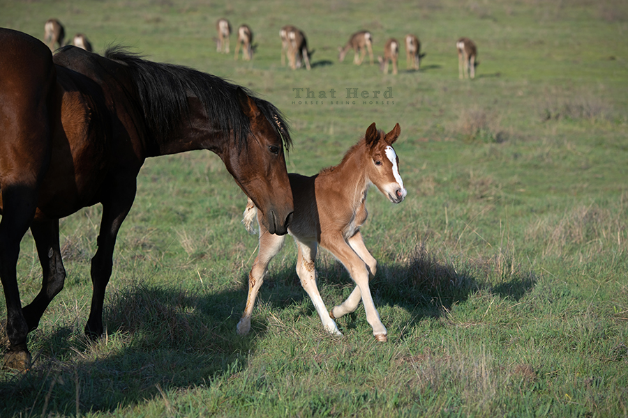 free range horse photography of a newborn foal with deer