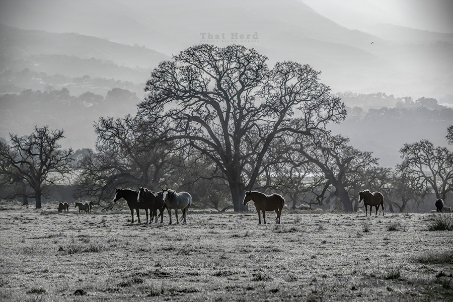 free range horse photography of mares and oak trees