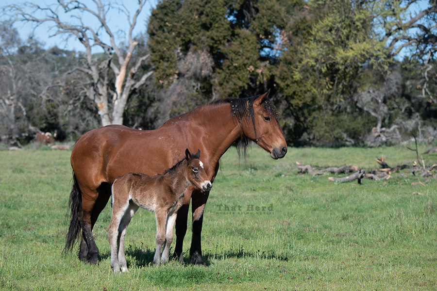 free range horse photography of a fuzzy newborn colt and mother