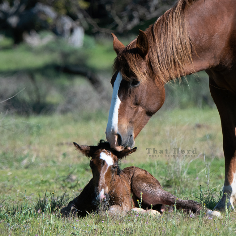 free range horse photography of a newborn foal being welcomed by his mother