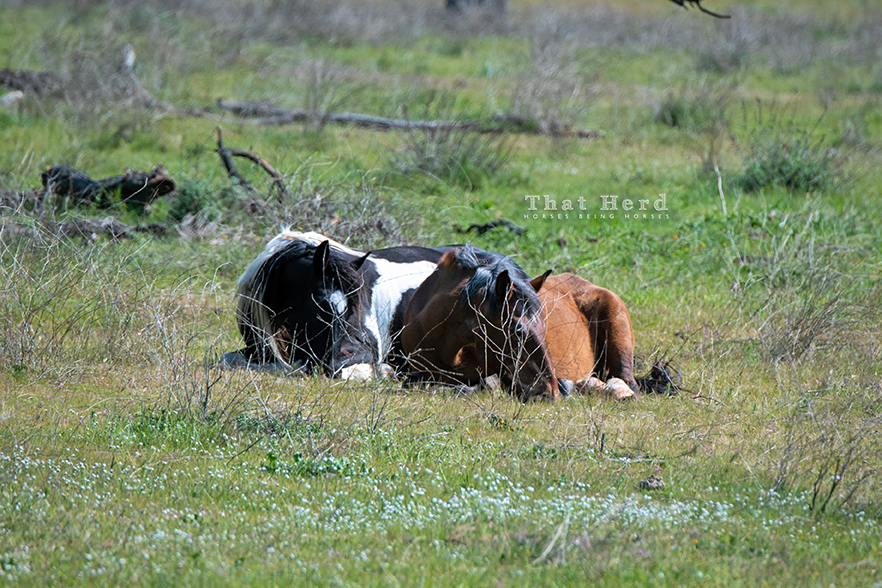 free range horse photography of two mares napping together