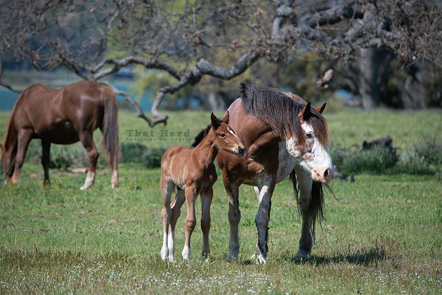 free range horse photography of a spotted mare and her new colt
