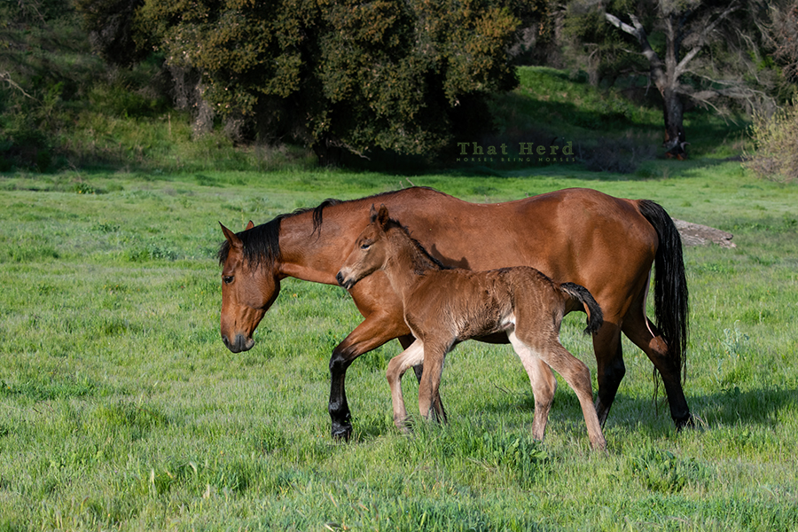 free range horse photography of a large newborn with his tired mom