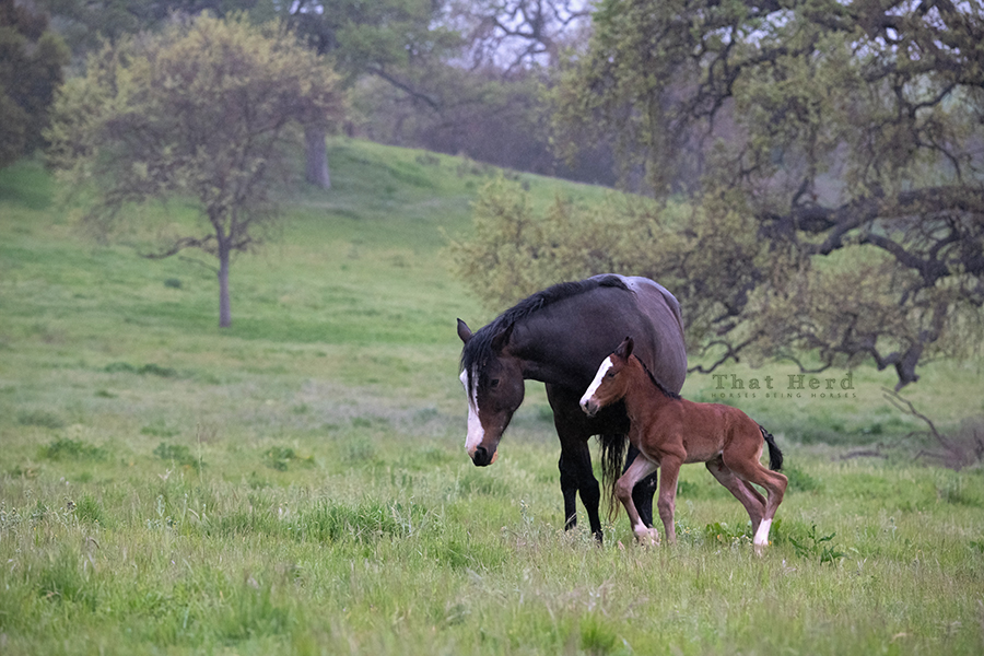 free range horse photography of a rainy morning surprise foal