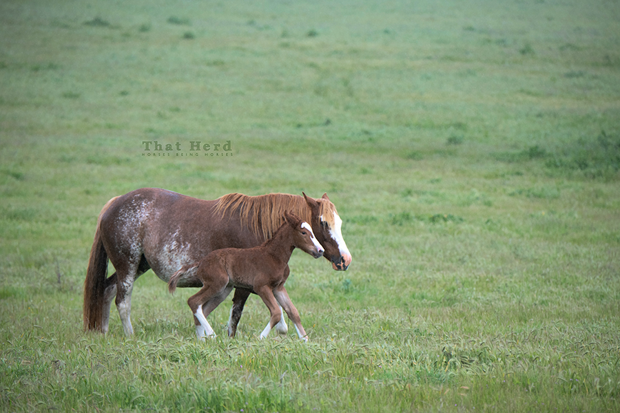 free range horse photography of a newborn colt on the move soon after birth