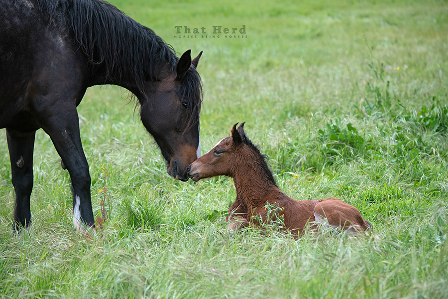 free range horse photography of a mare and her new foal bonding