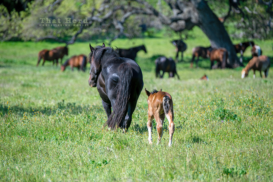 free range horse photography of a new mother rejoining the herd with her newborn after giving birth