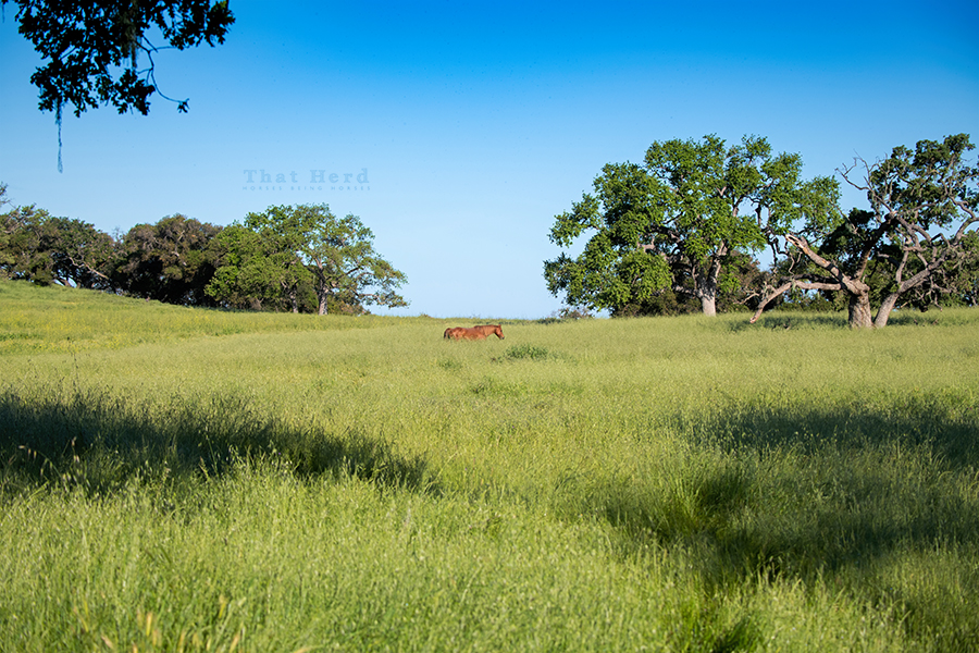 free range horse photography of a mare strolling through tall grasses