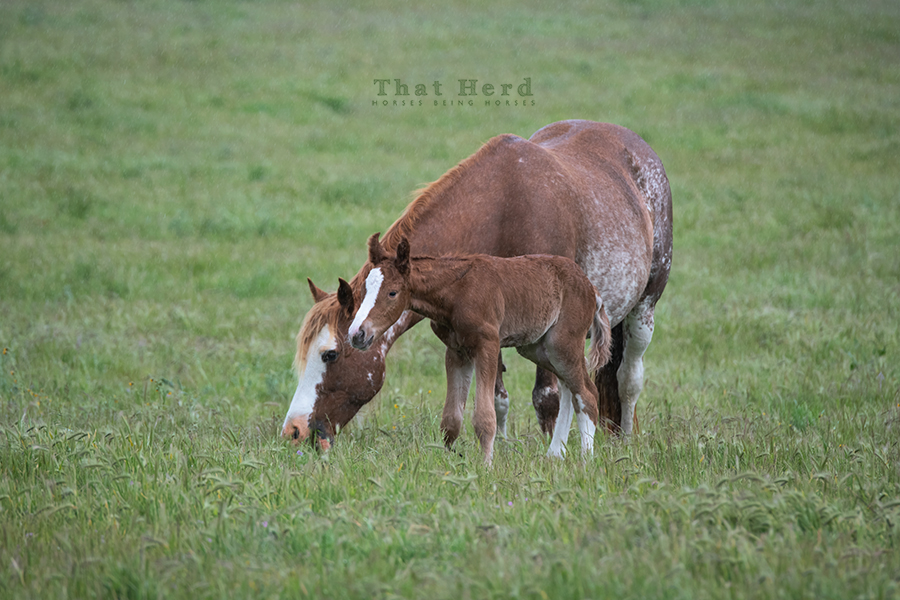 free range horse photography of a newborn colt whose coloring is matching his mother