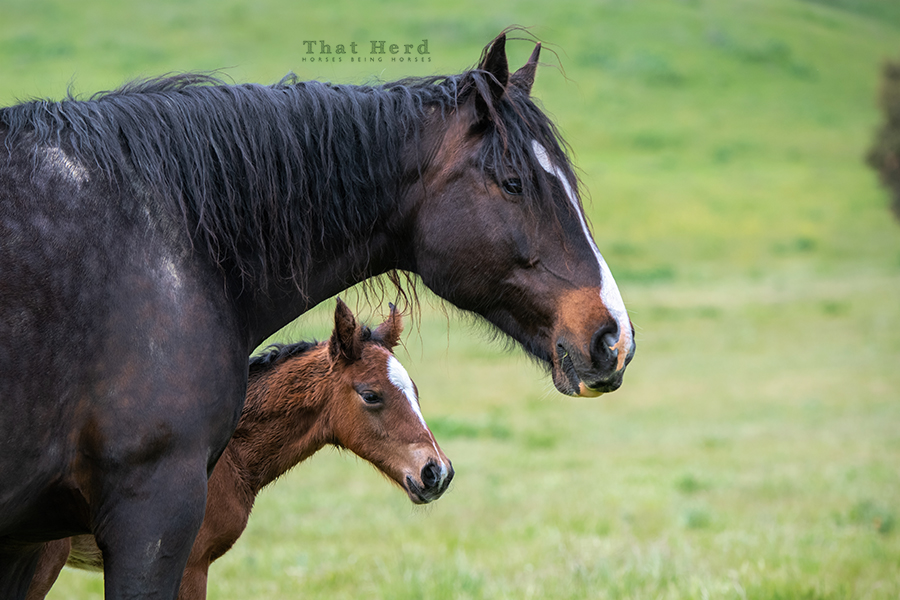 free range horse photography of a brand new colt and his wary mother