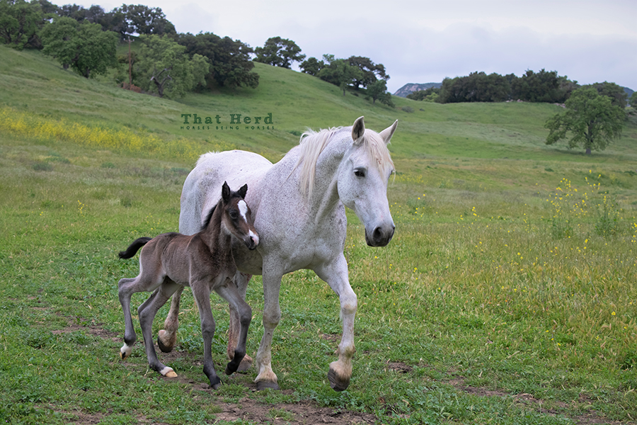 free range horse photography of a wobbly newborn colt marching by with his proud mother