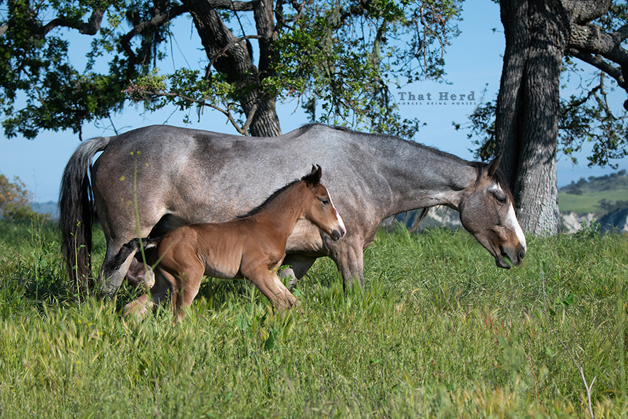 free range horse photography of a brand new colt and his slick mother