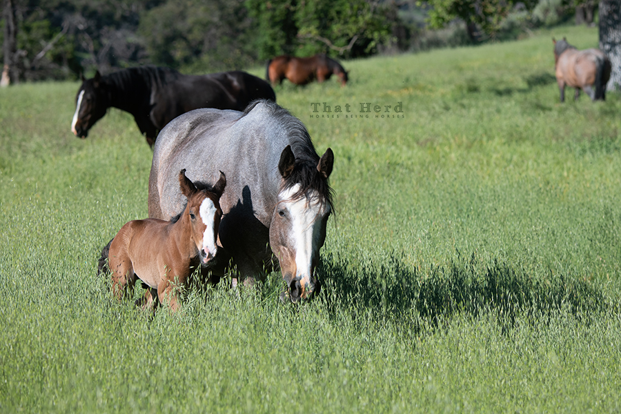 free range horse photography of a newborn foal parading with mare through tall grass