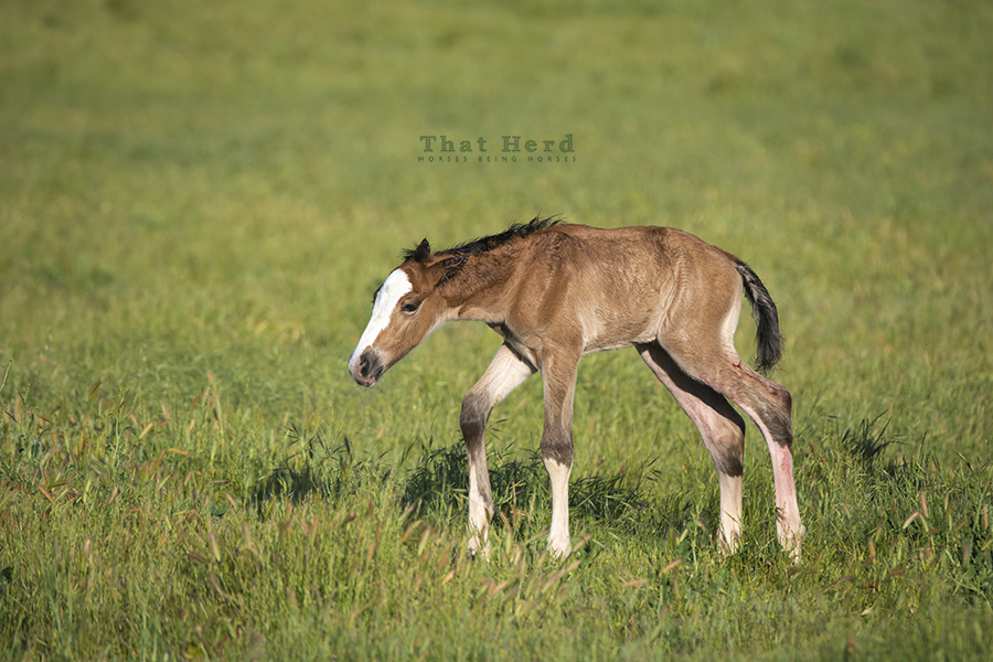 free range horse photography of a wobbly newborn colt