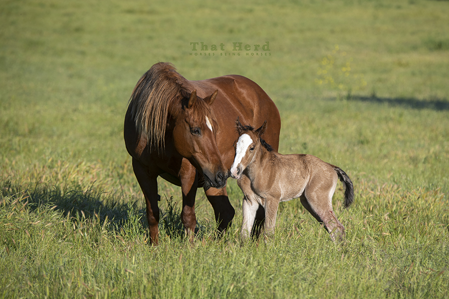 free range horse photography of a mare bonding with her new colt