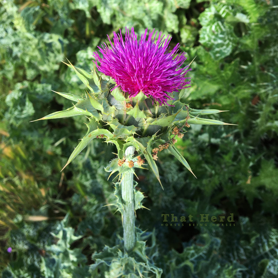 free range horse photography of a milk thistle plant