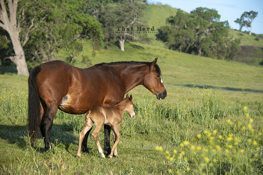 free range horse photography of an older mare and her pint sized newborn foal