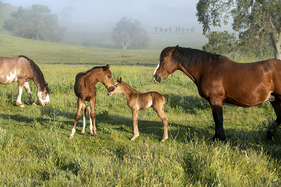 free range horse photography of an older foal greeting a newborn foal