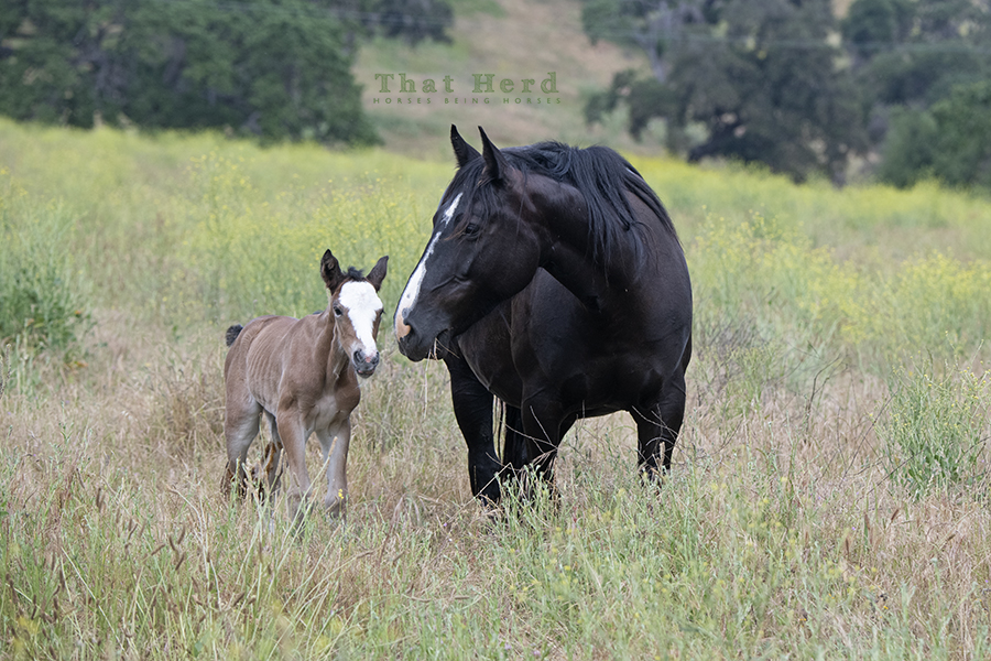 free range horse photography of an attentive mother and her day old foal