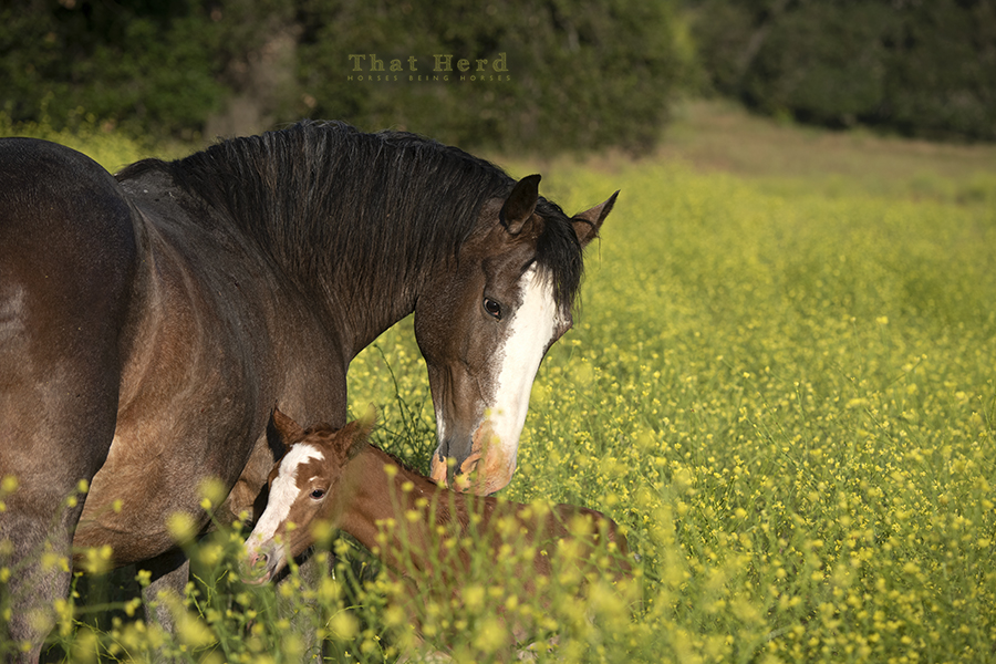 free range horse photography of a new mother and her newborn foal in a field of yellow