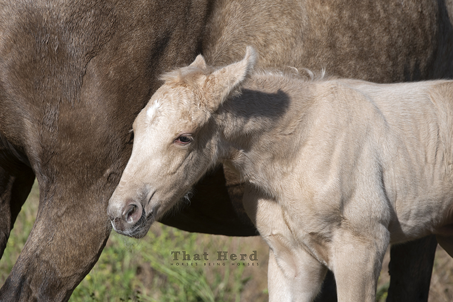 free range horse photography of a pale palomino newborn