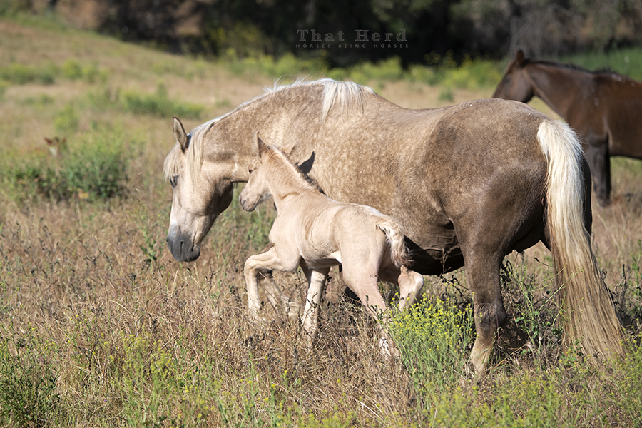 free range horse photography of a newborn foal marching to keep up with mother