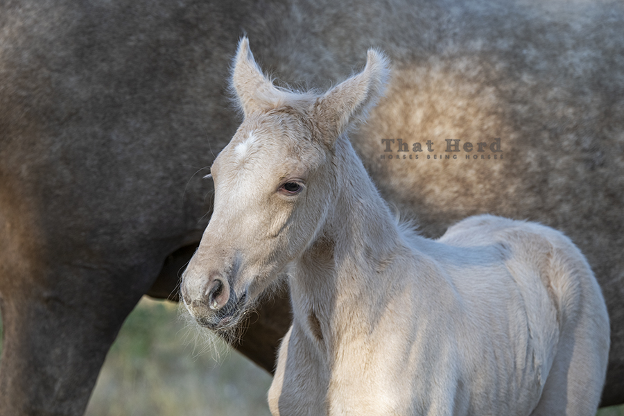 free range horse photography of a tired newborn colt