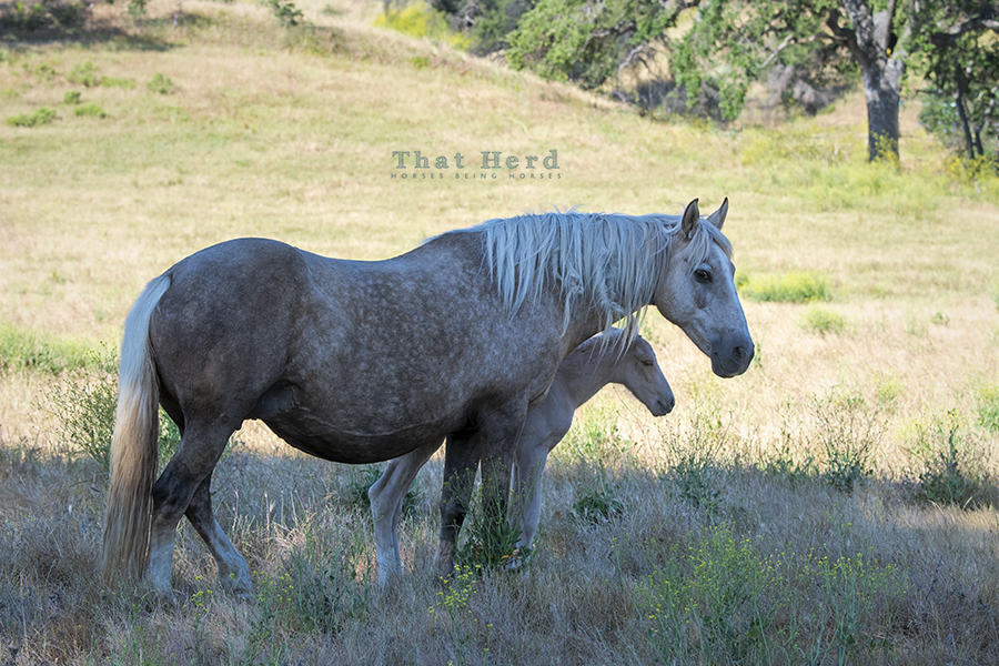 free range horse photography of a mare and new foal resting in the shade