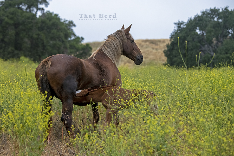 free range horse photography of an early morning arrival: a nursing colt