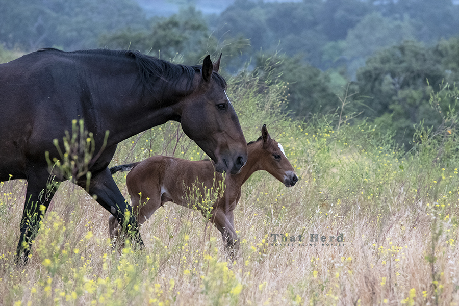 free range horse photography of a mare and hours-old foal covering some territory
