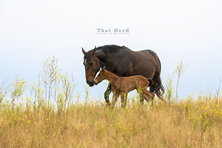 free range horse photography of a mare communicating with her new foal
