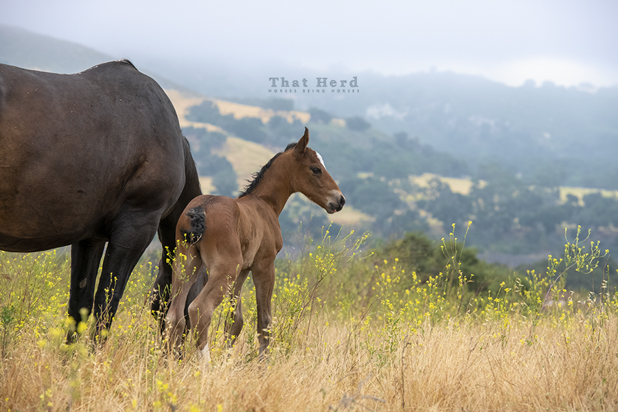 free range horse photography of a newborn colt on a mountain top