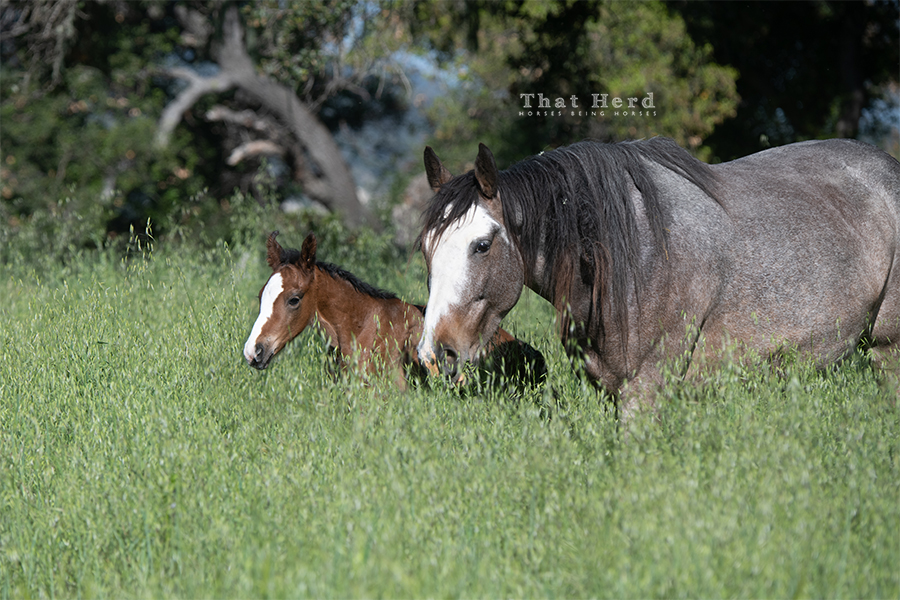 Free range horse photography of a newborn foal and mother in tall green grass