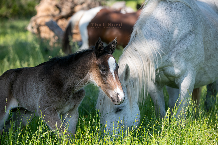 free range horse photography of a unique white ear tip on new foal