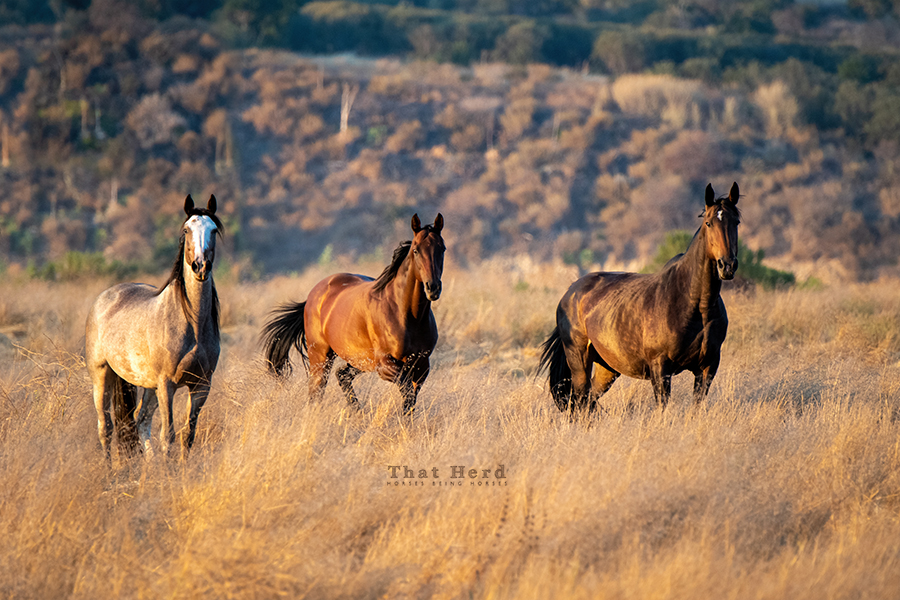 free range horse photography of three champion mares
